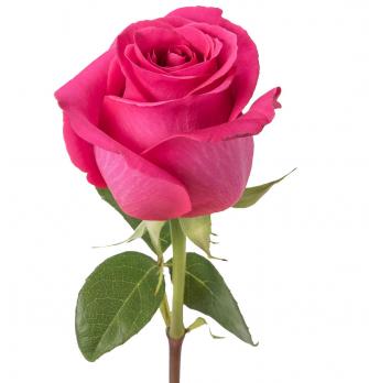 Ярко розовая роза поштучно 50  см