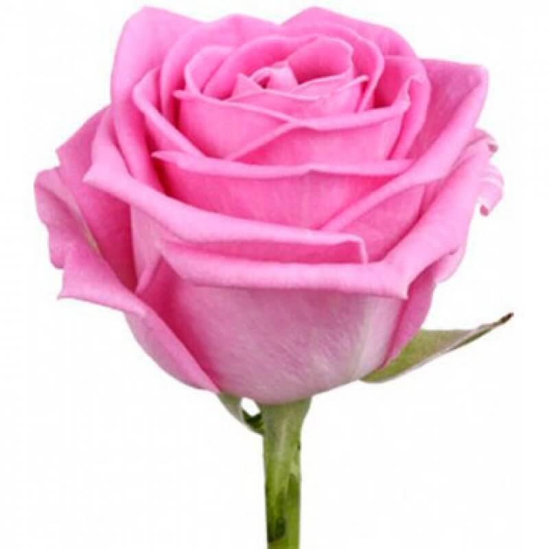 Розовая роза поштучно