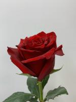 Красная роза 50 см поштучно