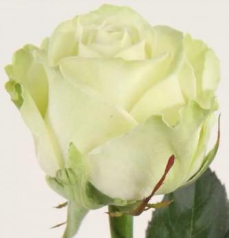 Белая роза поштучно 50 см